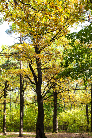oak trees illuminated by sun on meadow in autumn forest of Timiryazevsky Park in sunny october day 免版税图像
