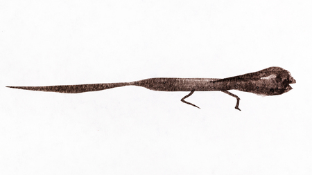 training drawing in sumi-e (suibokuga) style - a lizard handpainted by black watercolors on white paper