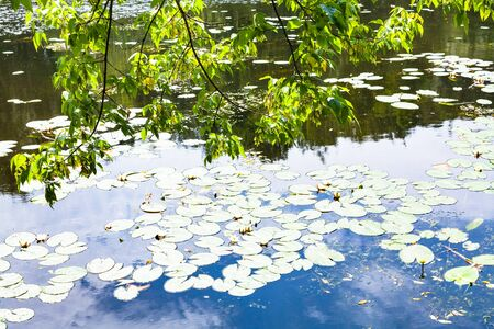 green branches of maple ash tree over river overgrown by water lily with reflections of blue sky and white clouds in water surface in summer day