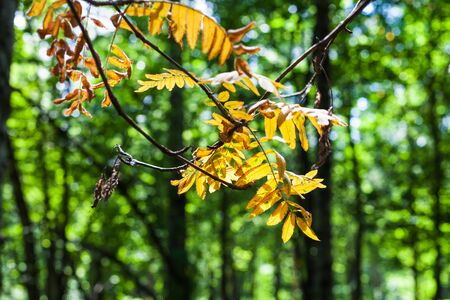 yellow leaves of rowan tree illuminated by sun close up and blurred green forest on background