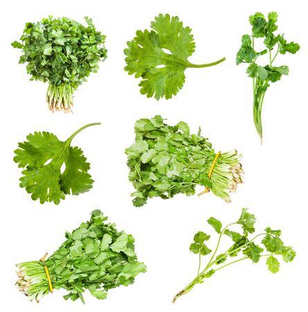 Set of fresh cilantro herbs isolated on white