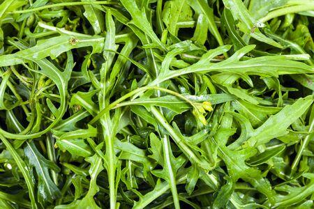 natural food background - many fresh green leaves of Arugula herb close up Zdjęcie Seryjne