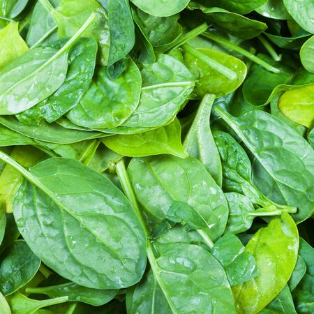 natural food square background - many green leaves of spinach herb close up