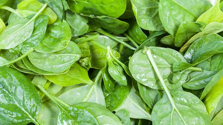natural food panoramic background - wet green leaves of spinach herb close up