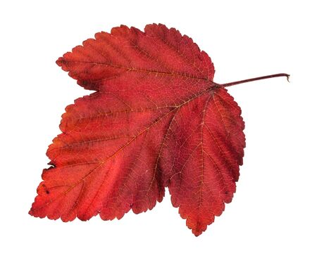 fallen red leaf of ninebark (physocarpus) shrub isolated on white background