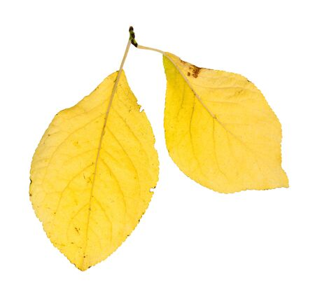 two yellow leaves of plum tree isolated on white background 版權商用圖片