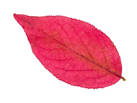 back side of autumn pink leaf of euonymus plant isolated on white background