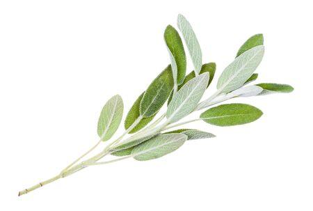 Ramita verde de planta de salvia aislado sobre fondo blanco.