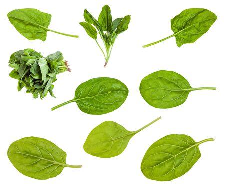 Verschiedene Blätter und Bündel von Spinatpflanzen isoliert auf weiß
