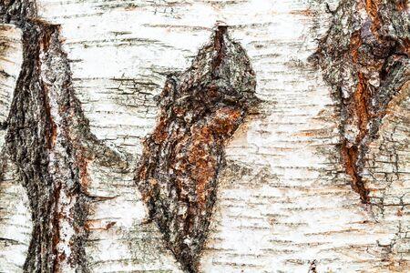 natural texture - rough bark on trunk of birch tree (betula pendula) close up