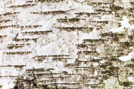 natural texture - white textured bark on trunk of birch tree (betula alba) close up