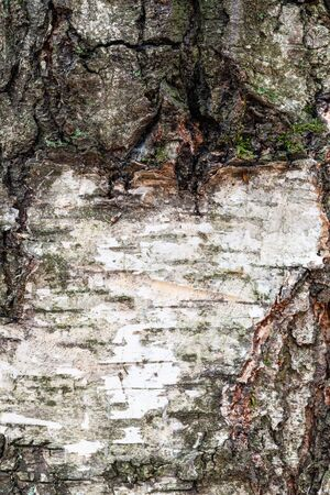 natural texture - wet and rough bark on old trunk of birch tree (betula alba) close up