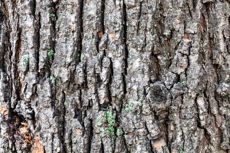 natural texture - grooved bark on old trunk of linden tree (tilia cordata) close up Stock Photo
