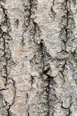 natural texture - uneven bark on old trunk of maple tree (acer platanoides) close up