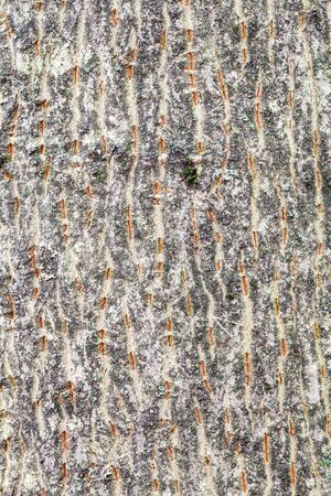 natural texture - textured bark on trunk of maple tree (acer platanoides) close up Stock Photo