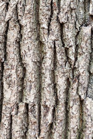 natural texture - rough bark on old trunk of oak tree (quercus robur) close up