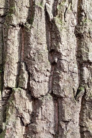 natural texture - grooved bark on old trunk of oak tree (quercus robur) close up