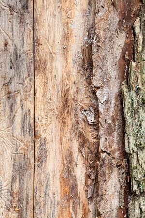 Wood of pine tree trunk with peeled bark close up