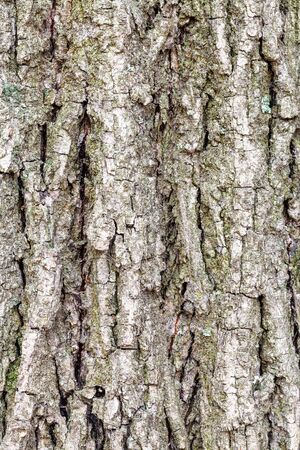 natural texture - grooved bark on old trunk of poplar tree (populus nigra) close up
