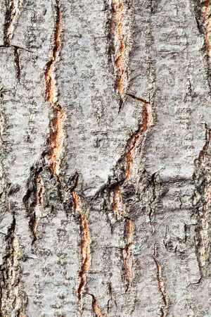 Rough bark on trunk of red oak tree (quercus rubra) close up