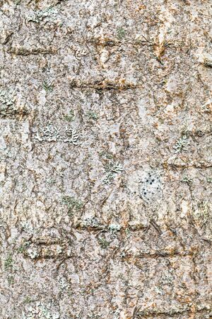 natural texture - textured bark on trunk of rowan tree (sorbus aucuparia) close up