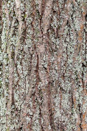 Rough bark on mature trunk of willow tree with lichen close up Stock Photo