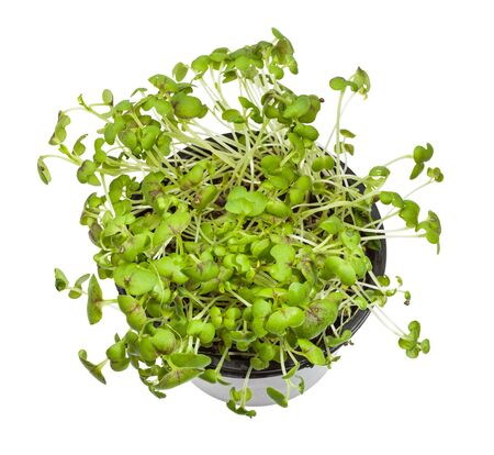 top view of living green mustard cress in pot isolated on white background
