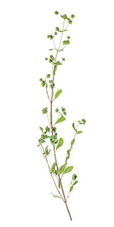 Ramita con capullos de mejorana fresca (Origanum majorana) hierba aislado sobre fondo blanco.