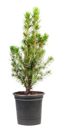 little green spruce ( white spruce, picea glauca conica) in pot isolated on white background