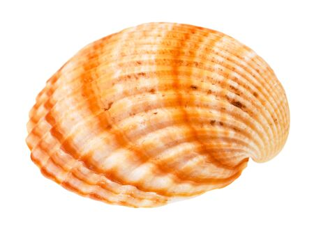 striped orange conch of cockle isolated on white background