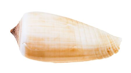 light brown shell of conus snail isolated on white background