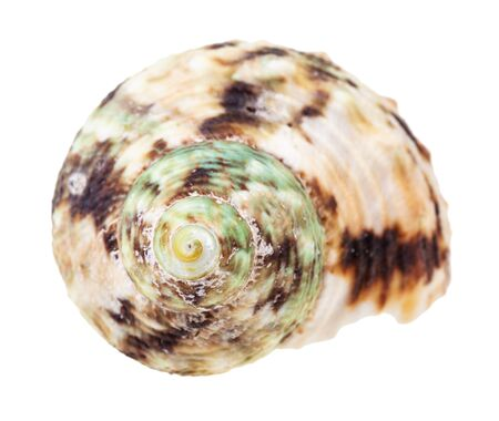 helix green and brown spotted conch of whelk mollusc isolated on white background
