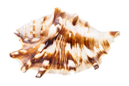 shell of muricidae snail isolated on white background 版權商用圖片