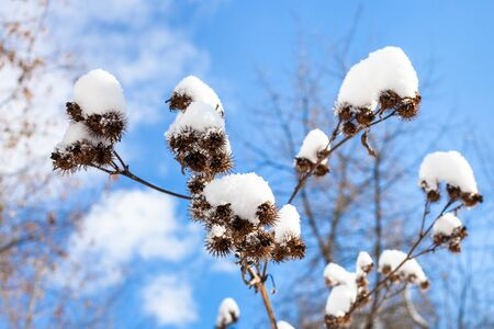 capitula of burdock close-up covered by fresh snow and blue sky on background on sunny spring day