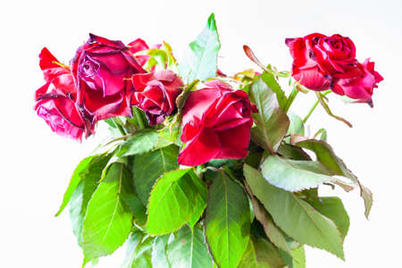 bouquet of withered red rose flowers on pale brown background (focus on the bloom on foreground)