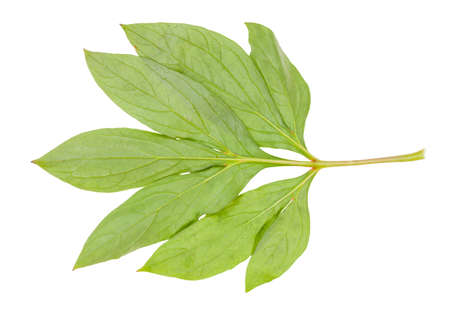back side of natural twig with green leaves of peony plant isolated on white background Фото со стока