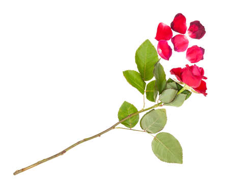 withered red rose flower and fallen petals isolated on white background