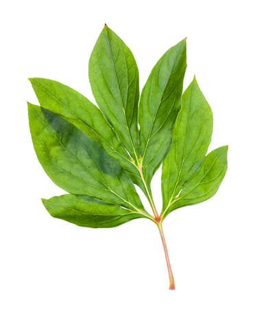 twig with fresh green leaves of peony plant isolated on white background Фото со стока - 150642740