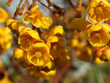 barberry: Blooming Barberry