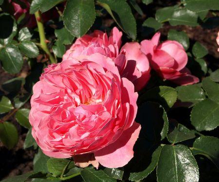 anne: Rose Anne Boleyn Stock Photo