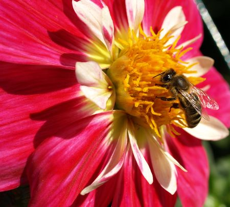 blosom: Bee on the blooming flower summer dalia