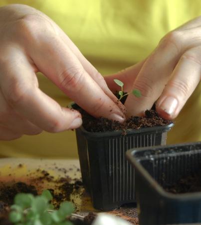 replanting: woman replanting pansy seedling
