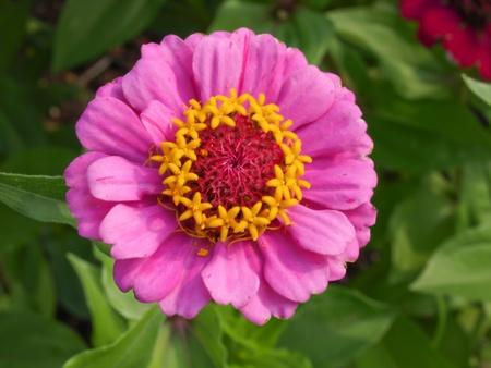 zinnia: Pink zinnia