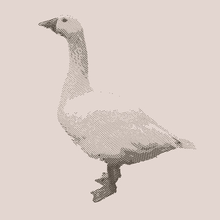 Goose. Farm animal. Vintage engraved illustration on chalkboard background.