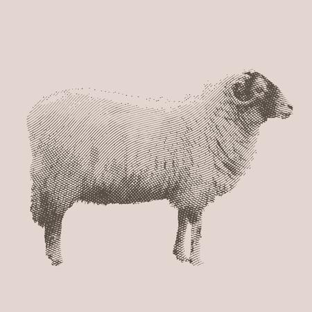 Graveren inkt teken schapen illustratie