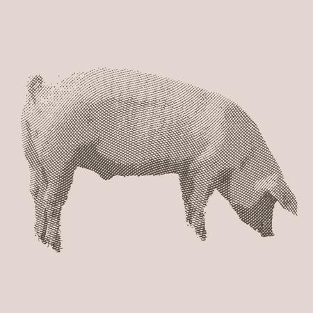 Pig. Farm animal. Vintage engraved illustration on clean background. Çizim