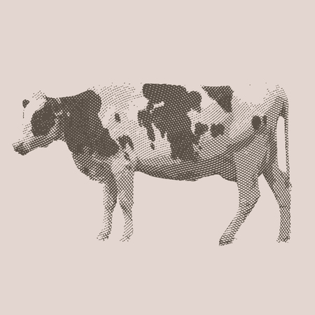 Cow. Farm animal. Vintage engraved illustration on chalkboard background.