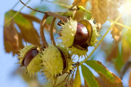 Chestnuts against the sky Stock Photo - 17329417