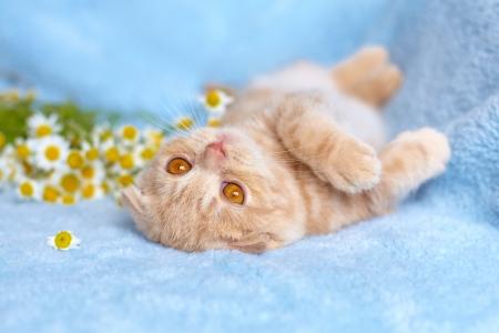 Little cat lying near chamomile Stock Photo