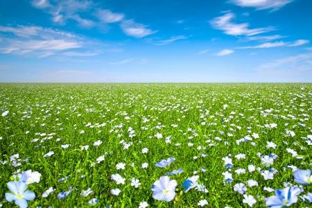 Flachs Feld mit blauem Himmel Standard-Bild - 17473366